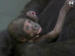 В сиднейском зоопарке пополнение в семье горилл