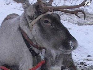 Северным оленям угрожает глобальное потепление