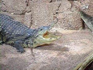 Крокодил уже полтора месяца отказывается от еды