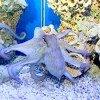 Крымскому осьминогу присущ игривый характер