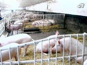Самым успешным в животноводстве уже много лет является свиноводство