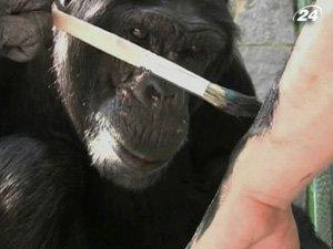 Шимпанзе Джимми