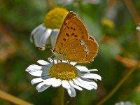 Самка бабочки-червонца