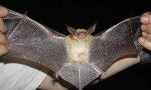 Летучая мышь (Antrozous pallidus)