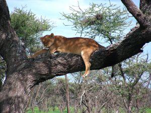 Cпящая на дереве львица. Танзания