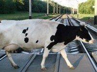 Корова переходит железнодорожный переезд