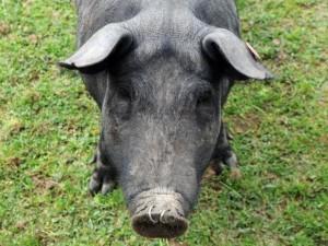В Украине запрещен ввоз бразильской свинины