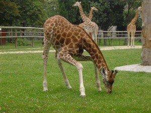 Жирафы в зоопарке Парижа