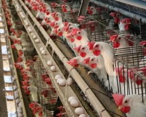 Птицеферма. Фото - Secretaria de Agricultura e Abastecimento do Estado de São Paulo Agriculturasp