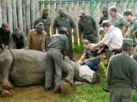 Ветеринары спасают жизнь носорогу. Фото Yotube